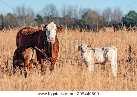 Brown And White Simmental Brood Cow With A Nursing Calf With A White Calf Standing Next To Them In A