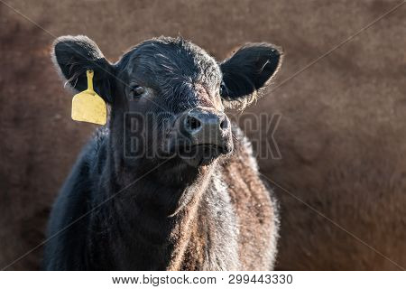 Cute Black Angus Calf With A Yellow Ear Tag On A Brown Background