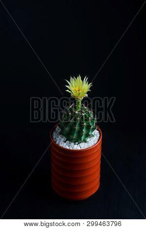 Close Up Yellow Flower Of Hamatocactus Cactus In Ceramic Pot