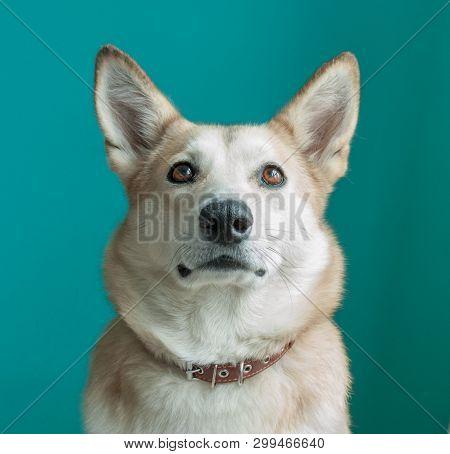 Layka Husky Dog. Detailed Portrait On A Blau Background, Cute Dog Brown-white