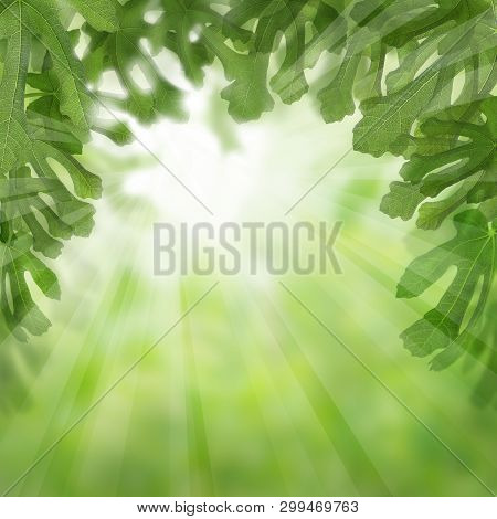 Fruit Leaves With Green Figs Tree Background. Natural Morning Dessert
