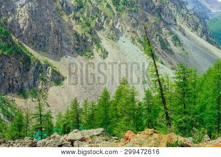 Coniferous Trees In Highlands. Larch Trees On Stony Hill. Wonderful Giant Rocky Mountains. Mountain