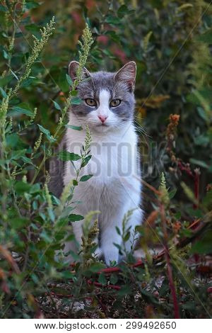 Gray And White Cat Posing In Grass. Close Image Cat Oudoor In Garden