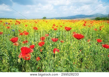 Poppy Field In Bulgaria During The Summer Time