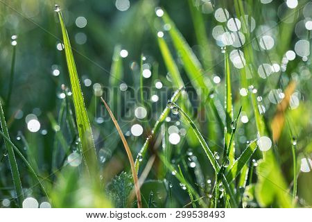 Dew Drops Close Up On Grass, Close Up