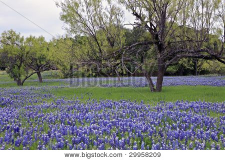 Bluebonnets With Grass And Trees