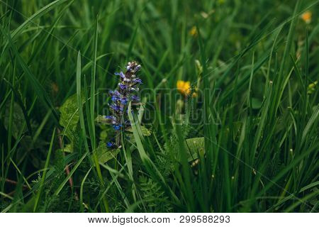 Close Up Photo Of (ajuga Reptans) Common Carpet Bugle Weed Blue Spike In The Grass On The Meadow. Wi