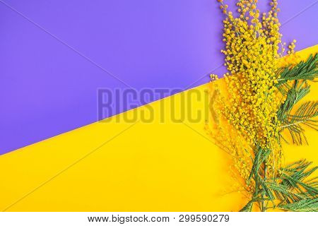 Greeting Card With Mimosa (acacia Dealbata, Silver Wattle, Blue Wattle), On Violet Yellow Table Surf