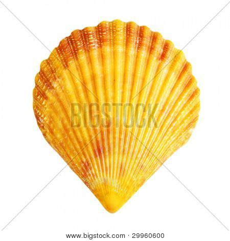 One shell isolated on white background