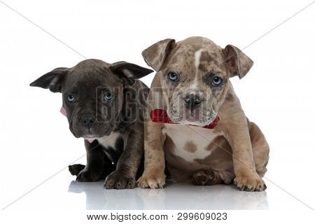 Two frowning Amstaff puppies looking forward and wearing bow ties while being seated on white studio background