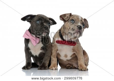 Guilty looking Amstaff puppies staring upwards with their mouths closed and wearing bow ties while sitting on white studio background