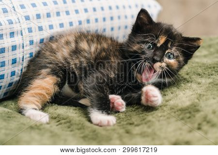 Beautiful Little Black Kitten With Red And White Spots Is Lying On The Pillow And Yawning