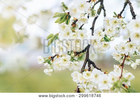 Blooming Branches Of The Plum Tree With White Flowers In The Orchard, Soft Focus