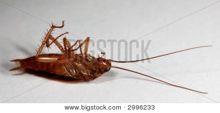 German Cockroach, Blatella Germanica