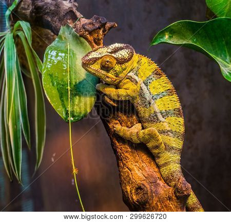 Closeup Of A Green And Black Banded Panther Chameleon, Colorful Tropical Lizard From Madagascar, Pop