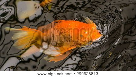 Golden Carp Swimming Underwater And Coming Above Water With His Mouth, Popular Ornamental Fish And P