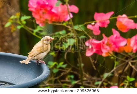 Small Tropical Yellow Bird With A White Breast And Red Eye Sitting On A Feeding Tray