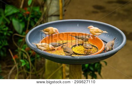 Small Tropical Birds Sitting In A Feeding Tray Eating Seeds, Bird Feeding Solutions, Keeping And Tak