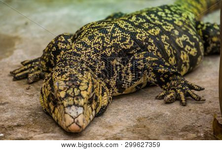 Closeup Of A Giant Argentine Giant Tegu, Big Tropical Lizard From America, Popular Pet In Herpetocul