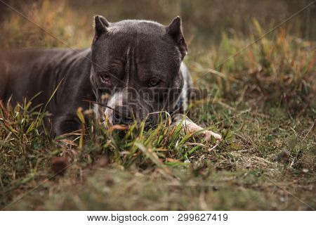 American Bully feeling guilty and looking forward with its mouth closed while laying down on outdoor background