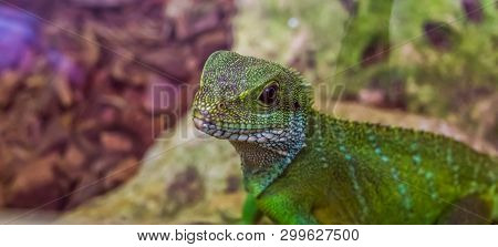 Chinese Water Dragon Lizard With Its Face In Closeup, Tropical Reptile From Asia