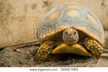 Closeup Portrait Of A Yellow Footed Tortoise, Tropical Land Turtle From America, Reptile Specie With