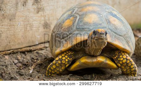 Yellow Footed Tortoise In Closeup, Reptile Specie With A Vulnerable Status, Tropical Land Turtle Fro