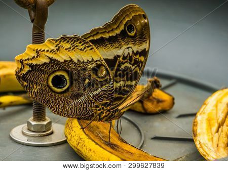 Macro Closeup Of A Forest Giant Owl Butterfly Sitting On A Banana, Tropical And Colorful Insect From