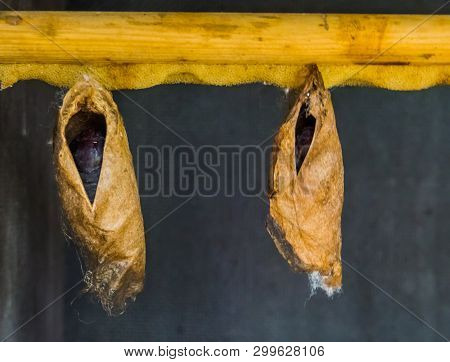 Big Tropical Butterfly Cocoons Hanging On A Wooden Beam, Insect Metamorphosis