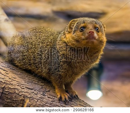 The Face Of A Common Dwarf Mongoose Looking Into The Camera, Cute And Popular Pet, Tropical Animal F