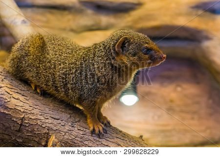 Closeup Portrait Of A Common Dwarf Mongoose, Cute And Popular Pet, Tropical Animal From Africa