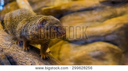 Closeup Of A Common Dwarf Mongoose Walking Over A Branch, Cute And Popular Pet, Tropical Animal From