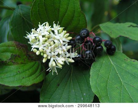 Cornus Sanguinea, The Common Dogwood Or Bloody Dogwood White Flowers And Black Berries Among The Lea