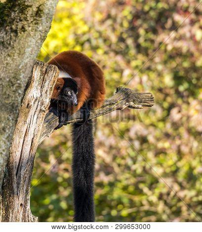 The Red Ruffed Lemur, Varecia Rubra Is One Of Two Species In The Genus Varecia, The Ruffed Lemurs