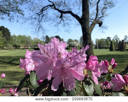 Rhododendron In The City Park Under Spring