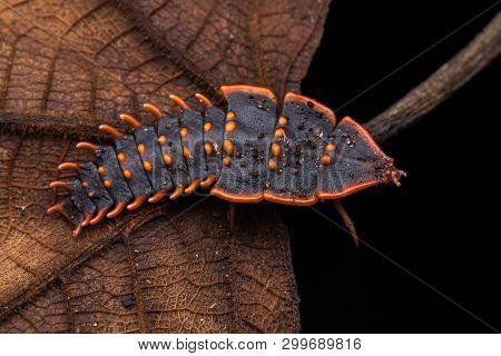 Trilobite Beetle , Close-up Of Trilobite Beetle , Duliticola, A Rare Insect Of Borneo.