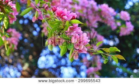 Malus Royalty Crabapple tree with flowers in the morning sun close up.  Apple blossom. Spring background. poster