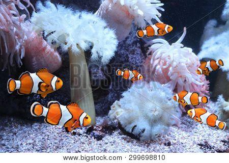 Tropical sea anemone and clown fish (Amphiprion percula) in marine aquarium