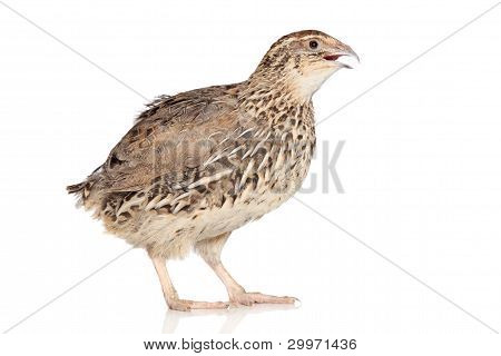Quail posing on a white background with reflection poster
