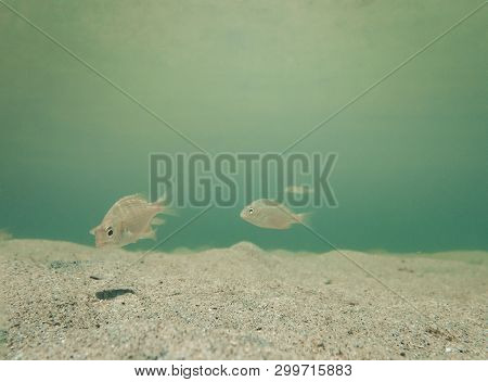 Inquisitive Baby Fish Swimming On The Sandy Sea Floor.  Space For Copy