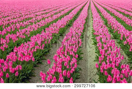 Pink Colored Tulip Flowers In Long Converging Rows. The Photo Was Taken At The Start Of The Spring S