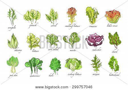 Fresh Herbs Set, Arugula, Spinach, Sorrel, Chicory, Lettuce, Corn, Bok Choy, Salad, Watercress, Kale