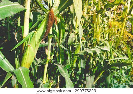 Ear Of Corn Grows On Plant. Corn рlantation, Farmer Grows Corn