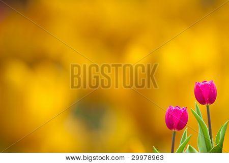 Fresh spring tulips with nice BG