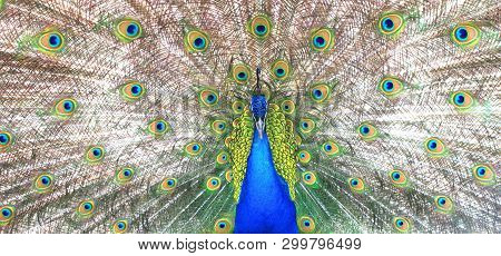 Proud Blue Peacock Showing Beautiful Feathers / Peacock Spreading Its Tail / Peacock Portrait / Beau