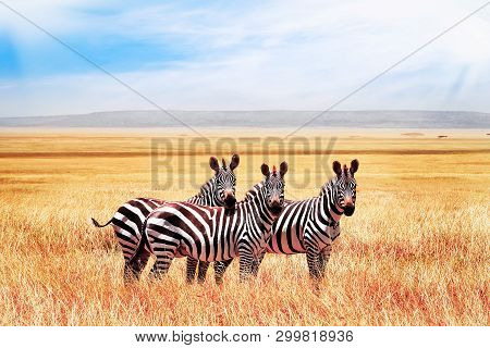 Group Of Wild Zebras In The African Savanna Against The Beautiful Blue Sky With Clouds. Wildlife Of