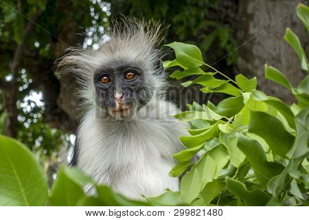 Red Colobus Monkey In A Natural Environment, Zanzibar.