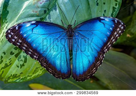 Blue Morpho, Morpho Peleides, Big Butterfly Sitting On Green Leaves,  Beautiful Insect In The Nature