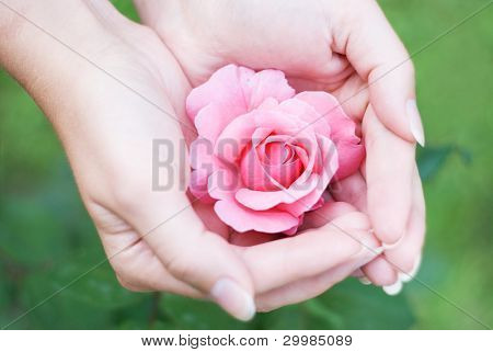 Women's hands with a rose in his hand close-up