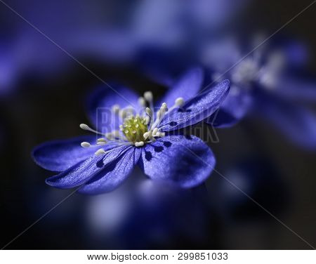 Blue Anemone Hepatica Flower In Soft Spring Light Feeling, Macro Closeup